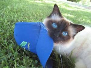 Beautiful much loved pure bred Birman free to a loving home Kambah Tuggeranong Preview