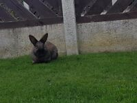 rabbit one year old with hutch friendly male