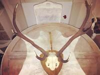Rustic farmhouse chic red deer / stag antlers man cave