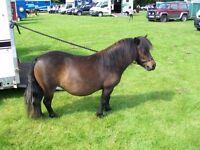 miniature shetland pony show qulity filly