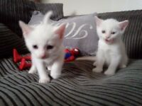 Beautiful Pure white kitten (1 boy left)