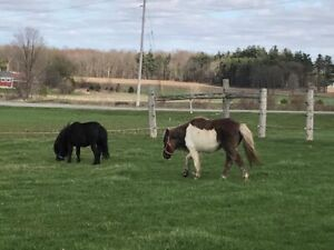 Two miniature horses for sale