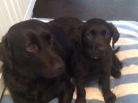 Black Labrador boy puppy