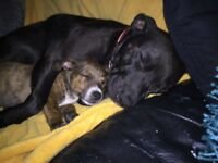 2 staffy x Jack Russell female puppy's