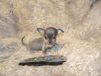 XXXXXS Exquisite Micro Tiny KC Registered Blue & Tan Chihuahua Girl Puppy