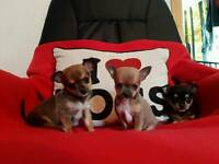 Kc reg quality smooth coat chihuahua puppies colour carriers