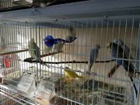 Young budgies £20 each, 35 a pair, 60 for 4
