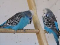 EXIBITION BUDGIES FOR SALE