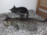 😻 Last 1 kitten (full tabby) 😻