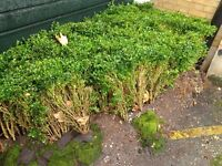 15m of box hedge plants (Baxus) job lot