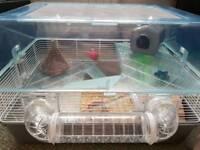 Roboski female dwarf hamster