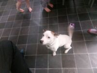 2 year old male jack Russell