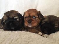 Female puppies mixed with a Shih tzu and Lhasa Aspo