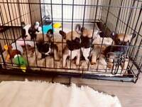 KC FRENCH BULLDOG PUPPYS