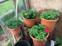 Filled tubs - petunia and marigolds