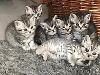 Beautiful full pedigree silver tabby British shorthair bsh kittens