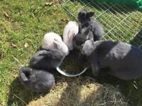 Mini Lop frosted Blue point buck available