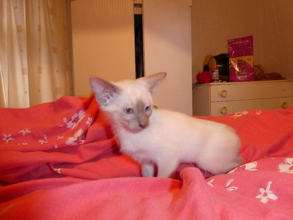 Three eleven week old Siamese and Oriental Kittens for sale | in ...