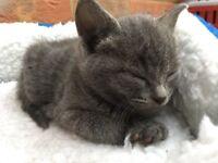 Unique beautiful grey female kitten
