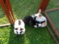 Mini lion lop rabbits
