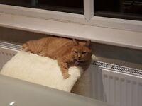 Lost ginger tabby cat in Bingley