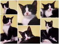 Male kitten part ragdoll cross £75