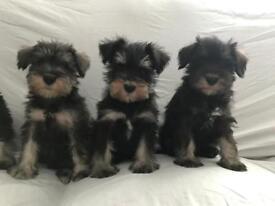 Beautiful kc reg mini schnauzer puppies