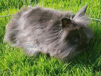 Baby double lionhead/dwarf rabbits
