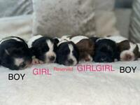 Beautiful English Springer Spaniels Puppies