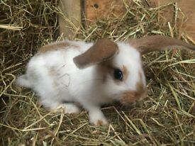 Bunnies for sale in Gloucester