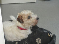 Five Star Home Wanted For 4yr old Bichon Frise/Jack Russell Cross