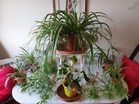 Spider Plant Chlorophytum plant small size ideal for Home/Office comes in pot