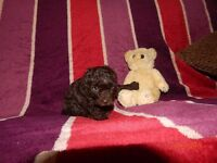 Toy Poodle Puppies - chocolate Brown