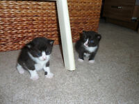 Gorgeous Black and White Kittens 3 boys 1 Girl