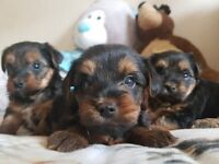 3 lovely yorkshire terriers puppies
