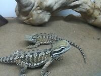 11 month old rankins Dragons for Sale.