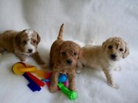 Gorgeous Cockapoo puppies for sale – boys and girls F1B