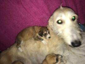 Saluki lurcher pups