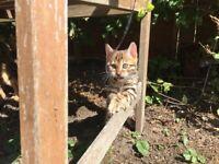 Stunning Pure Bengal Kittens - Amazing Behaviour!