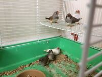 Six young zebrafinches for sale