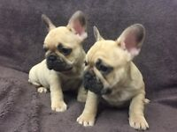 2 Beautiful french bulldogs (boys)