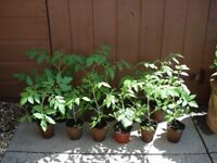 TOMATO ROMELLO X 12 PLANTS - IDEAL FOR HANGING BASKET/CONTAINER Organically grown at home from seed
