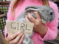 1 boy 1 girl lop /lionhead bunnies left