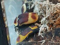 sun beetles (Pachnoda marginata peregrina)