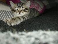 British Tabby Kittens