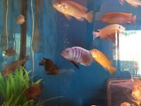Malawi tropical fish for sale