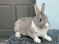 Beautiful male rabbit for sale!