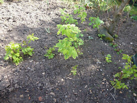 AUTUMN BLISS RASPBERRY PLANTS. DONATION TO CHARITY