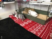 Selling two lovely rabbits and indoor cage