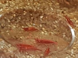 Red Cherry Shrimp ,
